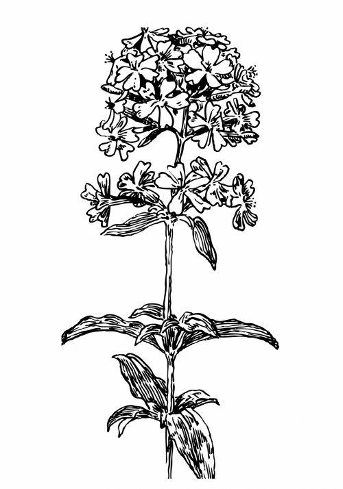 Soapwort Flower Illustration