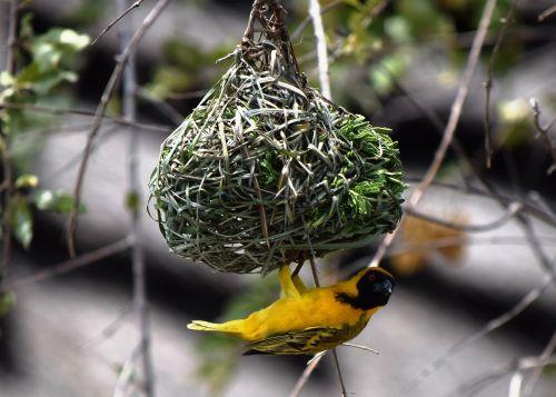 social masked weaver bird african