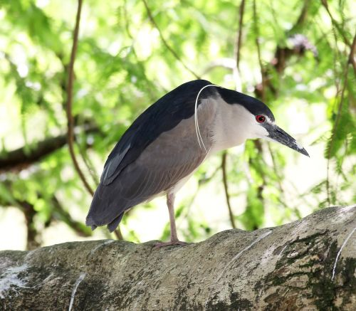 socó sleeper bird of profile