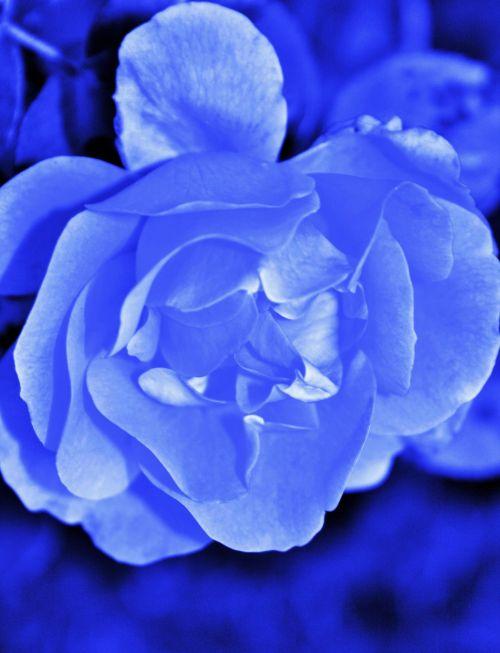 Soft Blue Tinted Rose