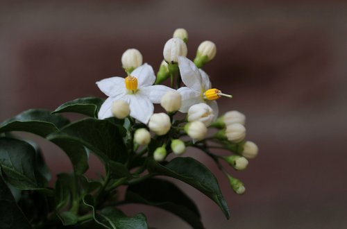 solanum  flowers  white
