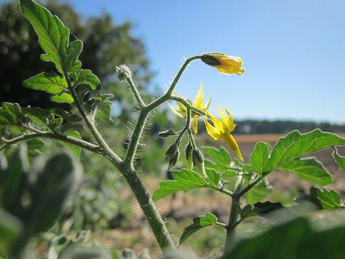 solanum lycopersicum tomato plant