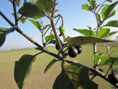 solanum nigrum european black nightshade black nightshade