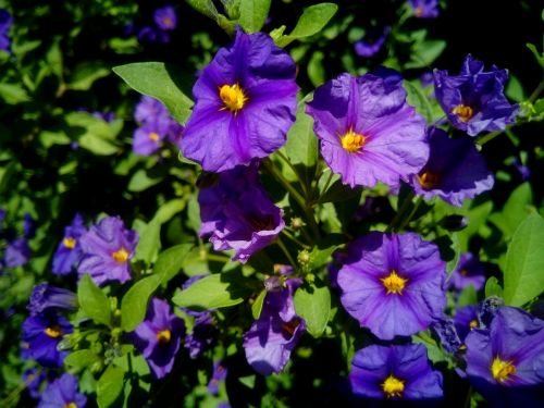 solanum rantonnetii flowers plant