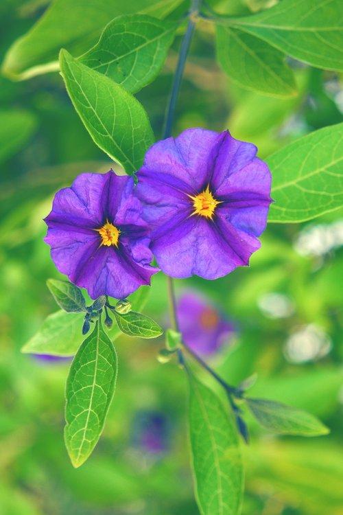 solanum rantonnetii  flower  plant