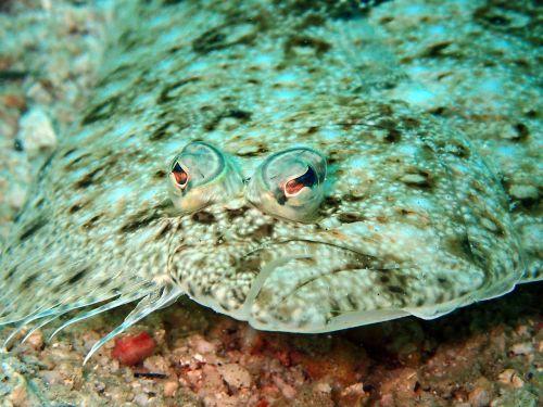 sole flounder fish