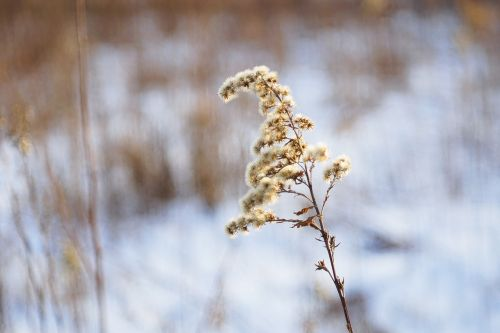 solidago canadensis dry plant winter