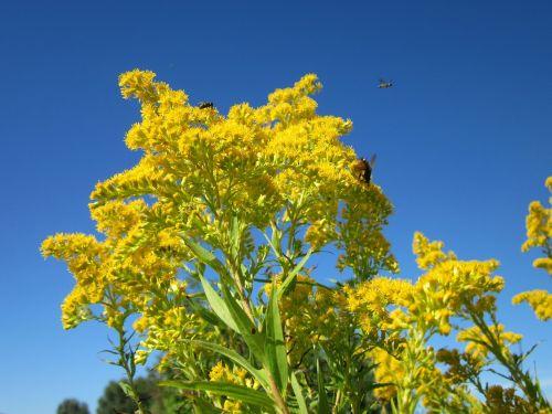 solidago canadensis goldenrod flower