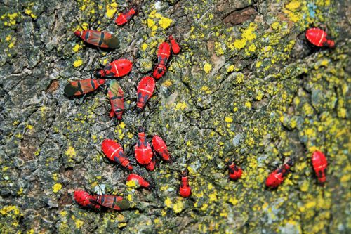 Some Soapberry Bugs On Tree Bark