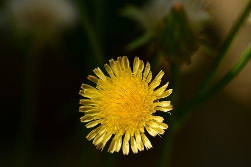 sonchus arvensis  yellow flower  floret