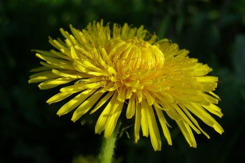 sonchus oleraceus spring flower