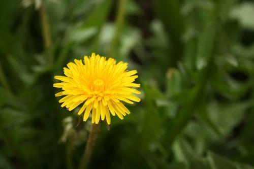 sonchus oleraceus taraxacum officinale yellow