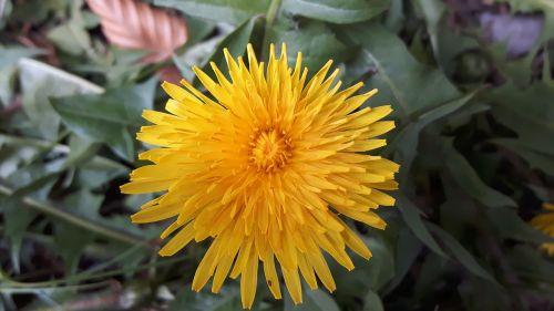 sonchus oleraceus flower dandelion