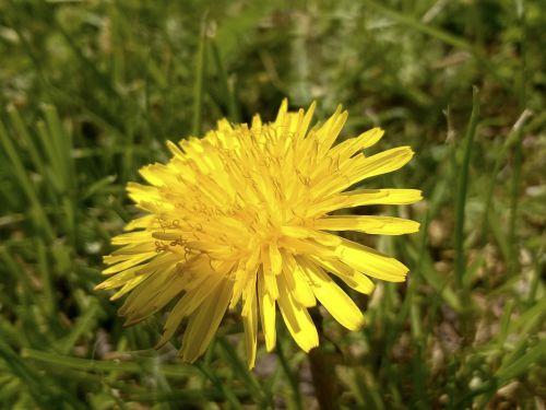 sonchus oleraceus meadow summer