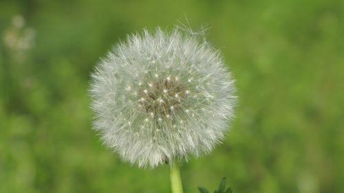 sonchus oleraceus dandelion spring