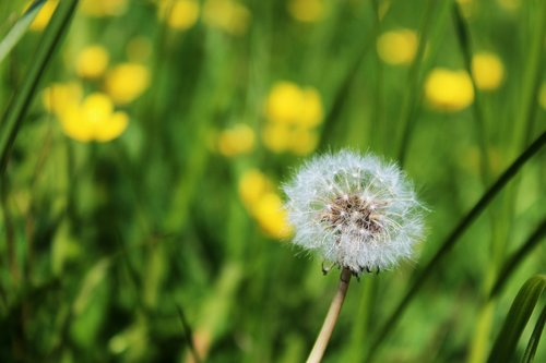 sonchus oleraceus  dandelion  your marigolds