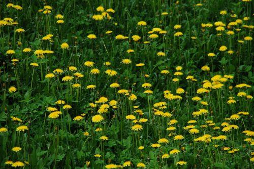 sonchus oleraceus dandelion meadow