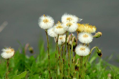 sonchus oleraceus  dandelion  dandelions