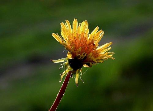 sonchus oleraceus  flower  nature