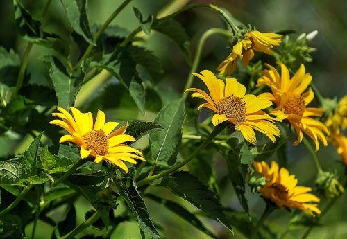 słoneczniczek rough flower flora
