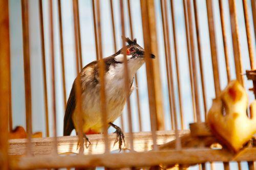 songbird caught rarely