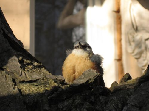 songbird young bird precocial