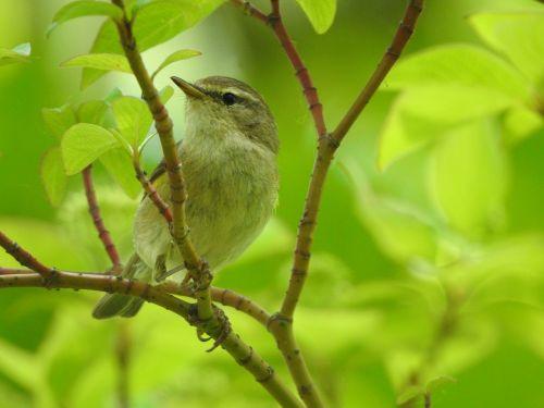 songbird willow warbler bird