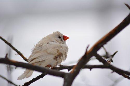 songbird  nature  winter