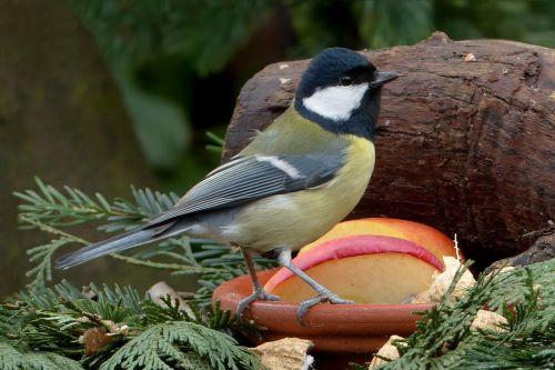songbird tit foraging