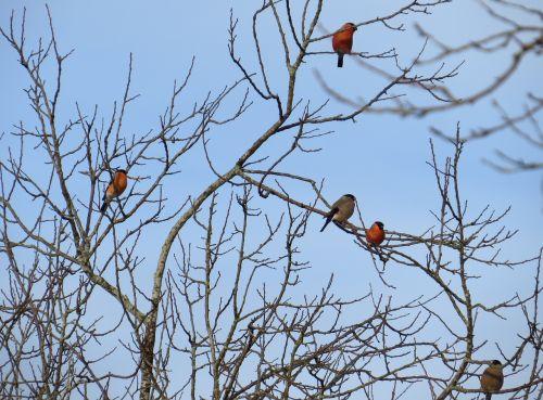 songbirds birds gimpel