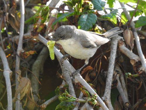 songbirds folding warbler food