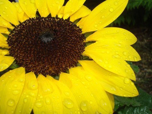 sonnebblume close raindrop