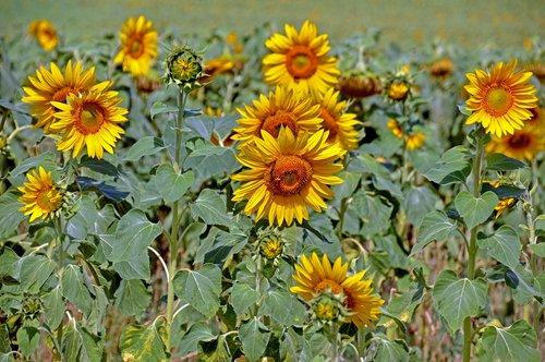 sonnenblume  sonnenblumenfeld  sommer