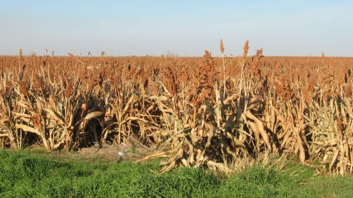 Sorghum Grain Crop