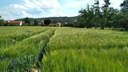 sörnewitz  cornfield  boselfelsen