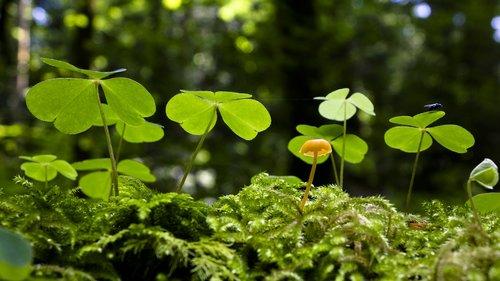 sorrel  klee  mushroom