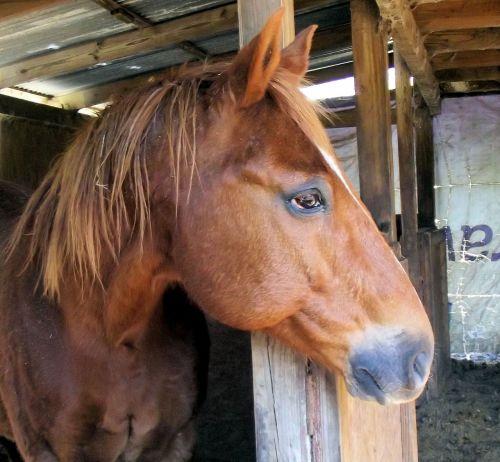 sorrel horse red brown