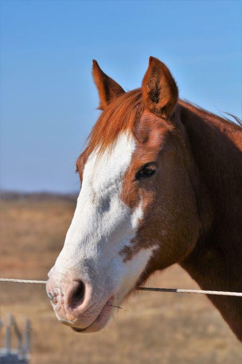 Sorrel Horse Portrait