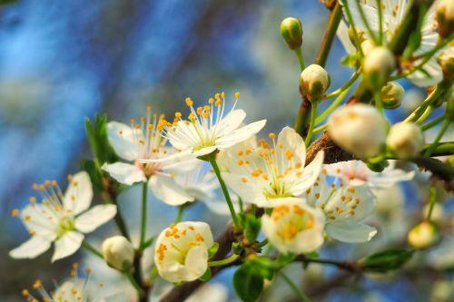 rūgšti vyšnia,medis,gamta,vasara,pavasaris,vaisiai,žiedas,žydėti,balta,vyšnių žiedas,sodas,vaismedis,žydėti,filialas,žiedas,jaunas važiuoja,pavasario pabudimas,kraštovaizdis,giraitė,lapai,augalas,flora