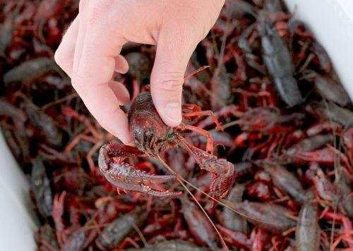 south crawfish red