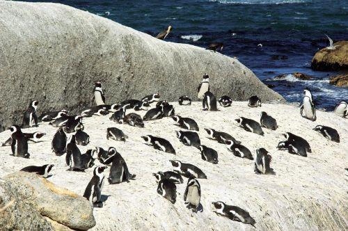 south africa shore penguins