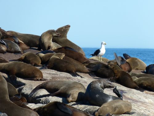 south africa robbe seals