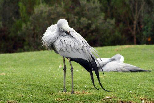 south africa garden route blue crane