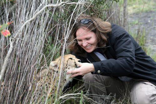 south africa cheetah cub suckle