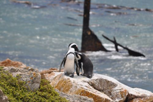 south africa penguin sea