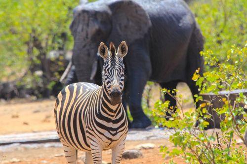 south africa zebra elephant