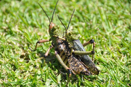 south africa locusts tsitsikamma national park