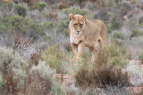south africa aquila gaming resort lioness