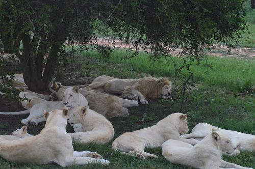 south africa lions park white lions