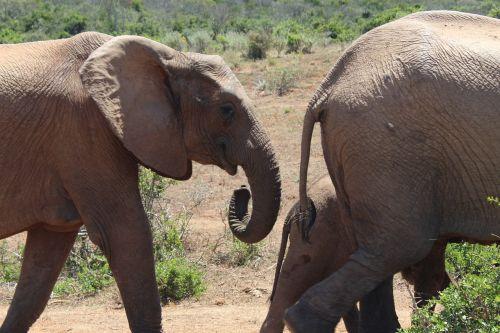 south africa elephant addo national park